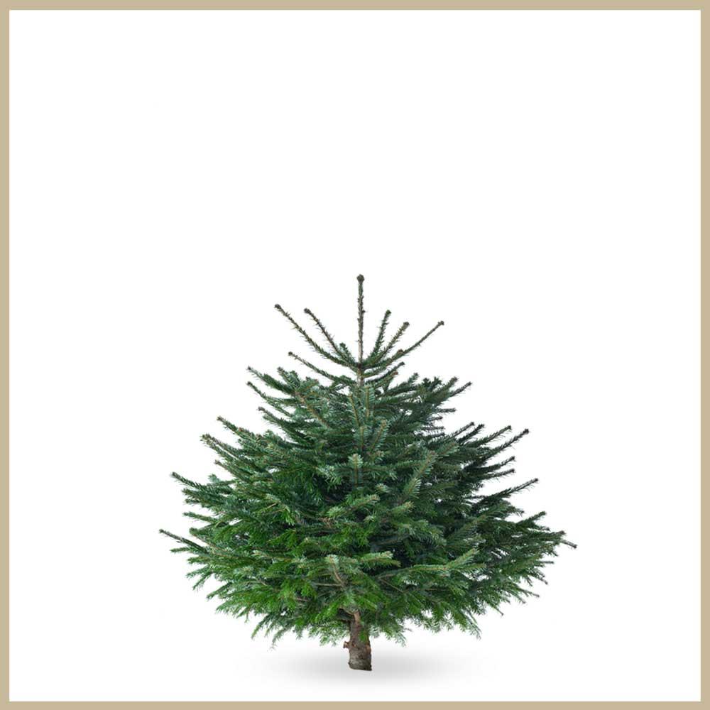 Tannenland-Produktbilder_Breite Tanne_125-150cm_Weihnachtsbaum_Christbaum