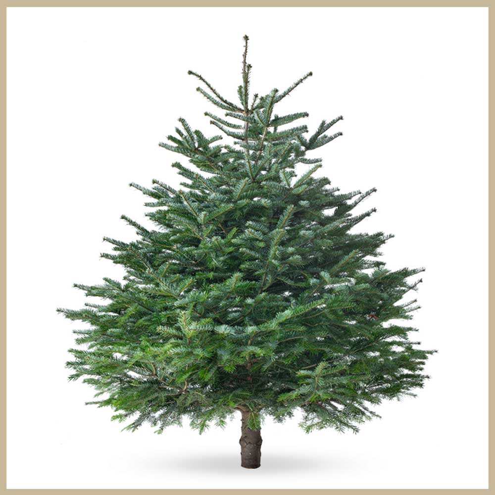 Tannenland-Produktbilder_Breite Tanne_175-200cm_Weihnachtsbaum-Christbaum